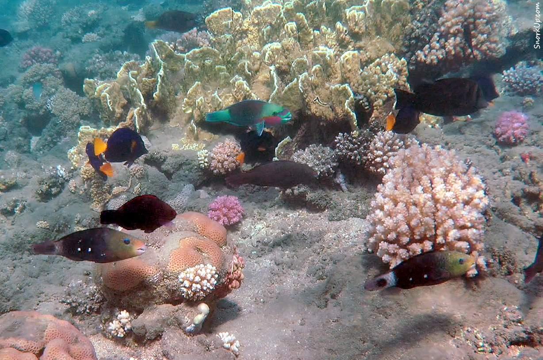 Разноцветные попугаи (лат.Chlorurus sordidus, анг.Daisy parrotfish):<br>две тёмные на переднем плане — самки, цветастый — самец.